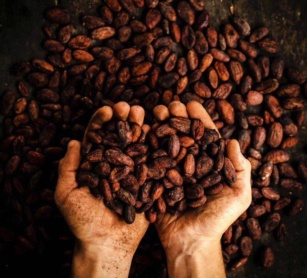 Immagini Di Piante E Alberi la pianta di cacao. come riconoscerla e i semi