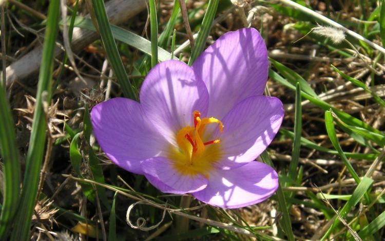 fiore con stimmi di zafferano coltivato in Abruzzo